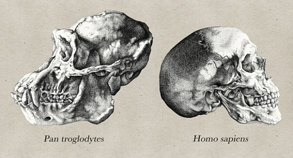 Katy Wiedemann_Comparative Study of a Human and Chimpanzee Skull
