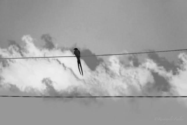 Pássaro Tesourinha
