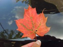 A maple leaf along Canada's Bruce Trail in September.