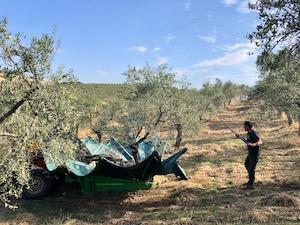 høst af olivener i Caceres med en træryster
