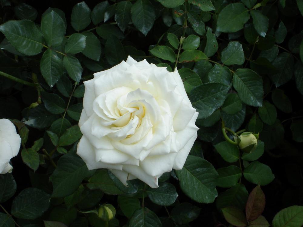 Significado de las flores amarillas - Significado rosas amarillas ...