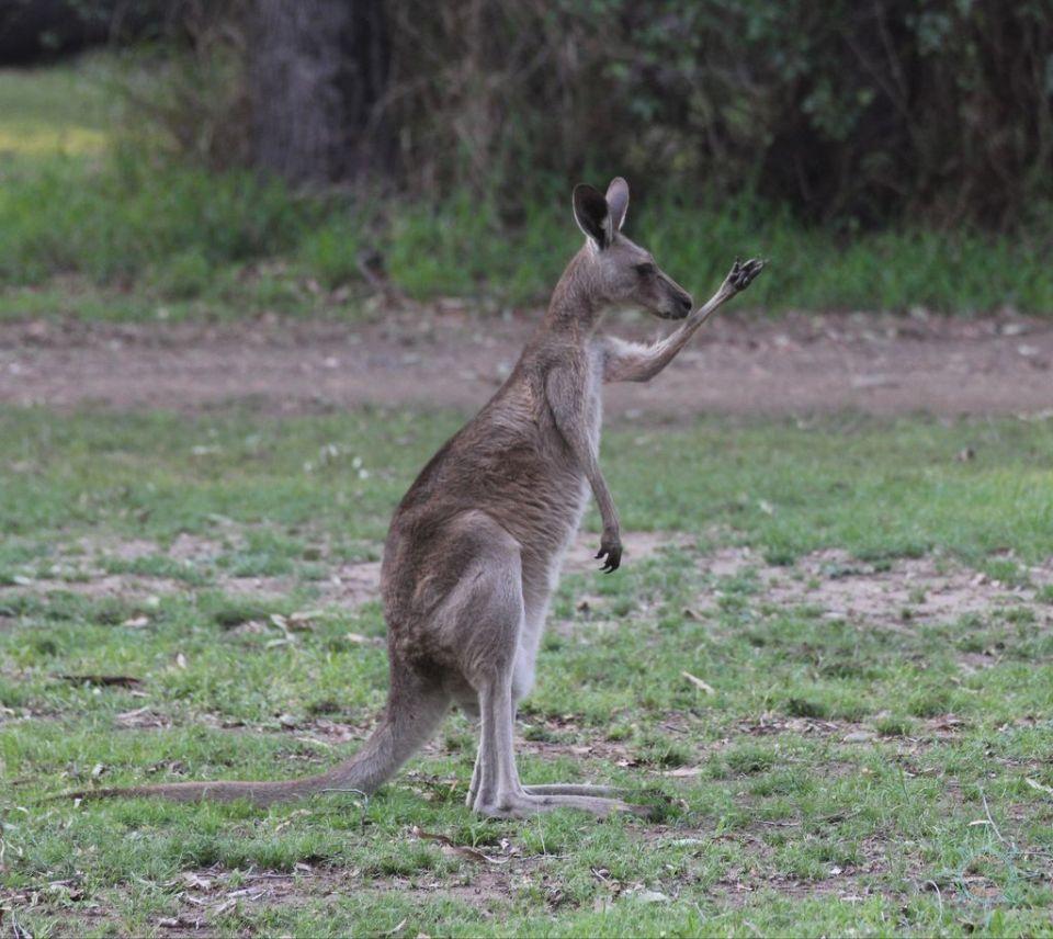 Rosas Reisen Reiseblog Australien Känguru