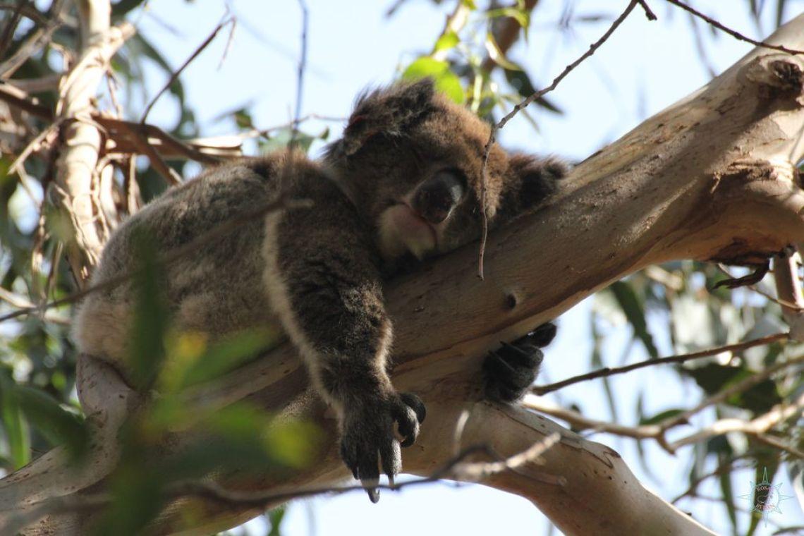 Rosas Reisen Reiseblog Australien Koala