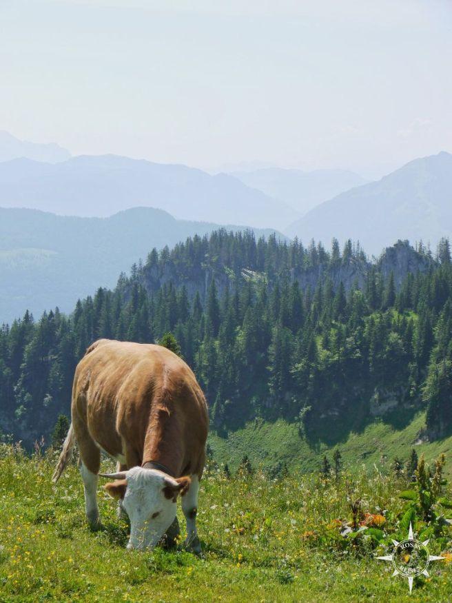 Kuh auf der Sonnenalm