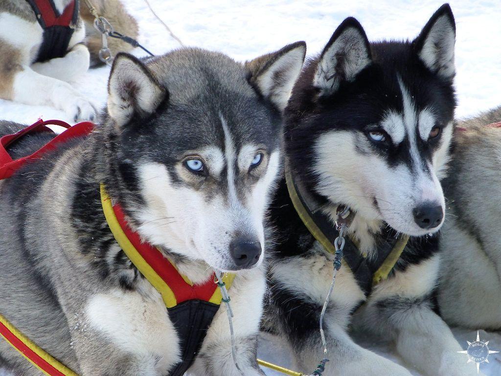 Schlittenhunde Husky Finnland Lappland