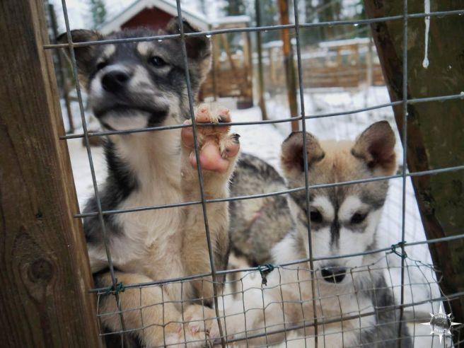welpen-schlittenhunde-finnland