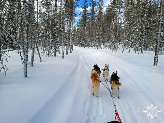 Akaskero-Rosas-Reisen-Finnland-Lappland-Wildnistour-Hundeschlitten-Schlittenhunde-Huskies