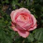 残像をまとう甘美な古美術。バラ[ロマンティック・アンティーク]の栽培実感