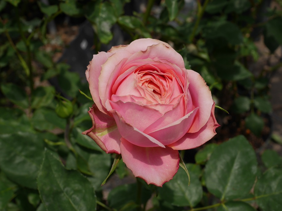 バラ「ロマンティック・アンティーク」の開花姿。