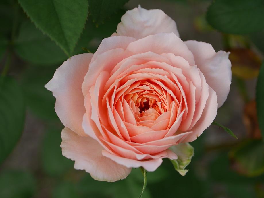 アプリコット色が混じるロマンティック・アンティークの6分咲き。