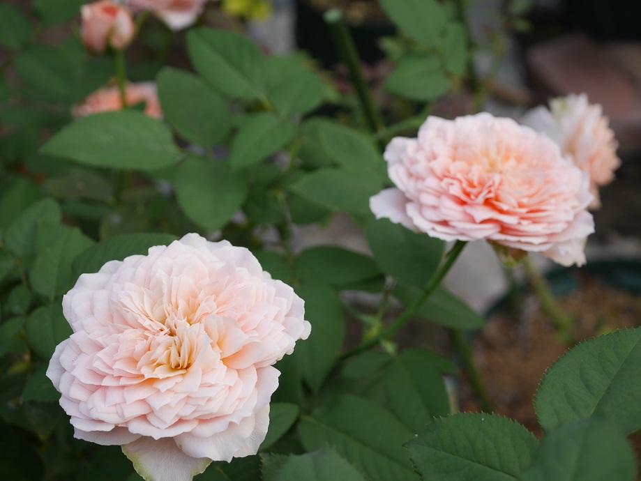 ロマンティック・アンティークの散り際の花色。