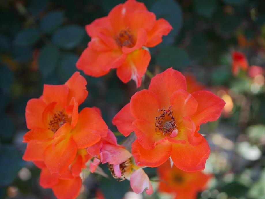 「ウォーム・ウェルカム」の花姿。