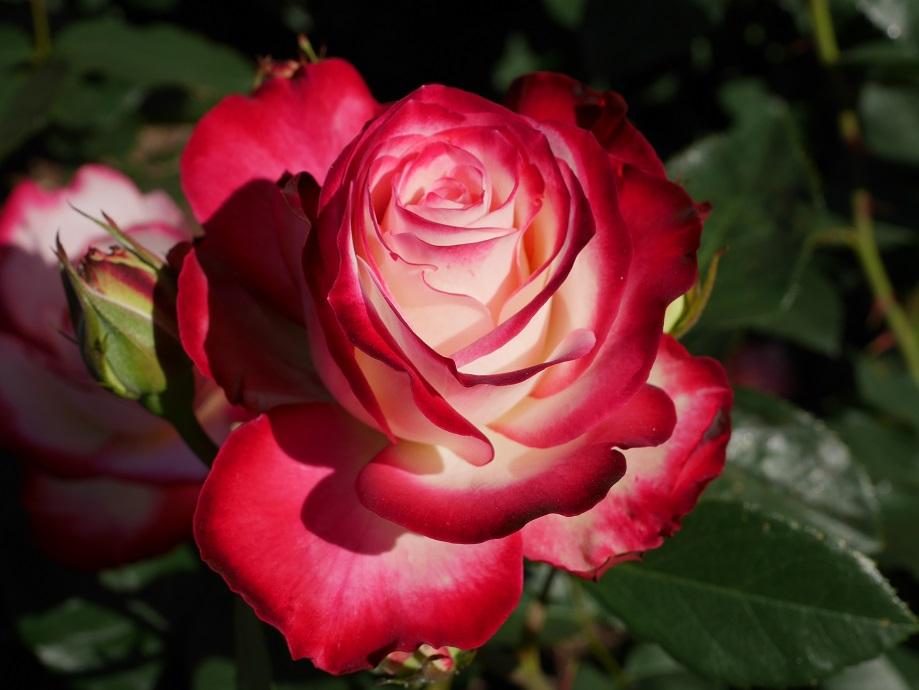 「ジュビレ・ドゥ・プリンセス・ドゥ・モナコ」の花姿。[撮影者:花田昇崇]