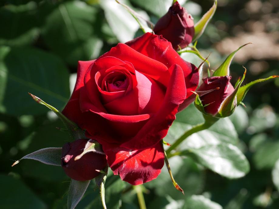 「ニコロ・パガニーニ」の花姿。