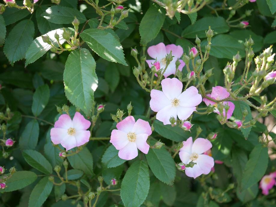 4輪の「バレリーナ」の花姿。