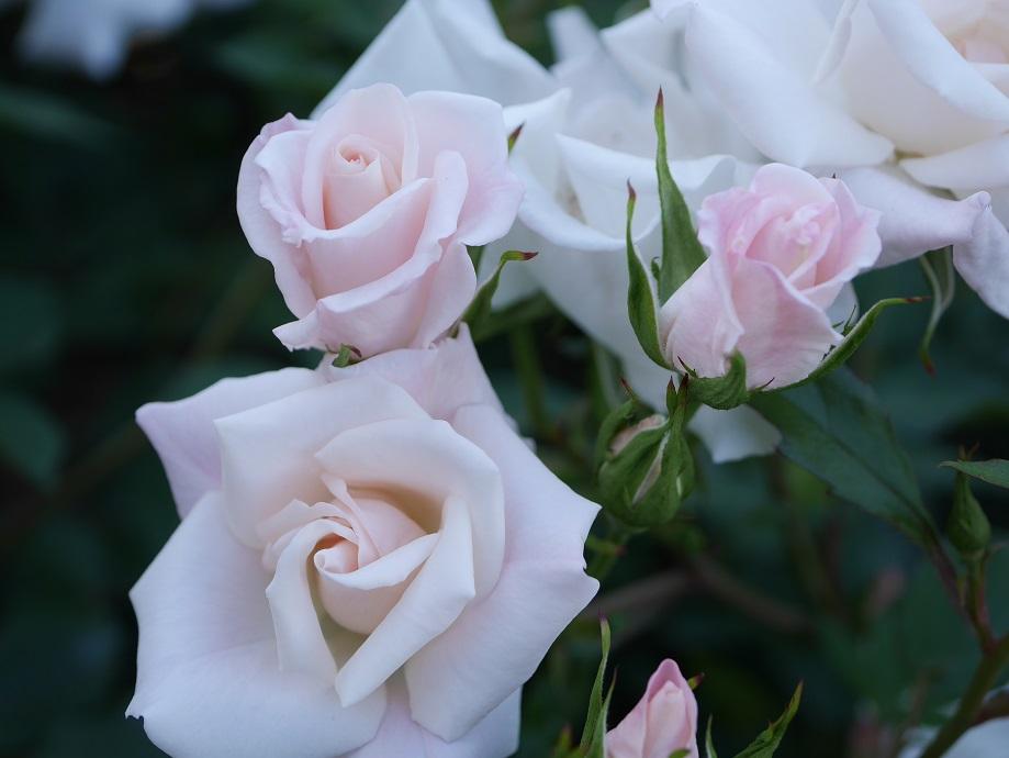 「ラ・ヴィ・アン・ローズ」の花姿。