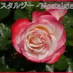 黒星病に強く鉢植えも適するバラ。郷愁の[ノスタルジー]の栽培実感