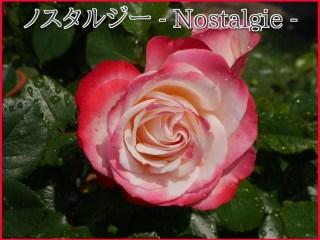 当サイトのコンテンツ「黒星病に強く鉢植えも適するバラ。郷愁の[ノスタルジー]の栽培実感」のアイキャッチ。