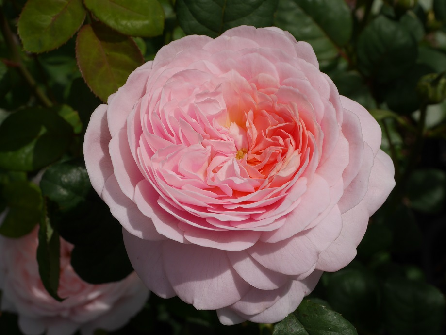 イングリッシュローズ「クィーン・オブ・スウェーデン」の8分咲き。