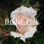 花嫁を連想させるバラ[ブライダル・ピンク]の栽培実感