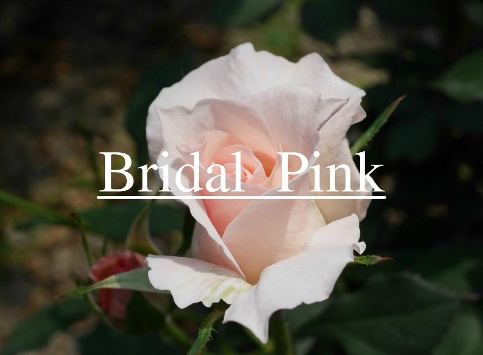 当サイトのコンテンツ「花嫁を連想させるバラ[ブライダル・ピンク]の栽培実感」のアイキャッチ画像