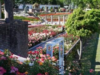 撮影。バラの最盛期のバラが咲き誇る荒牧バラ公園(兵庫県伊丹市)の園内。[撮影者:花田昇崇]