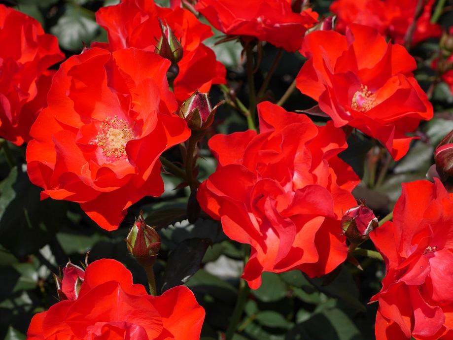 画面いっぱいに咲き誇る「アムステルダム」(フロリパンダ)。[撮影者:ローズフェスタ]
