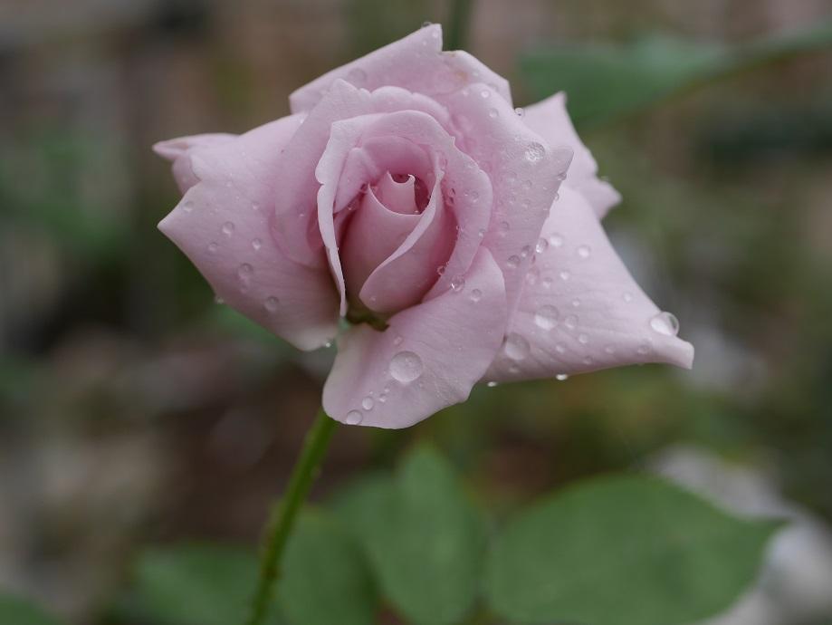 バラ「ブルー・ムーン」の8分咲き
