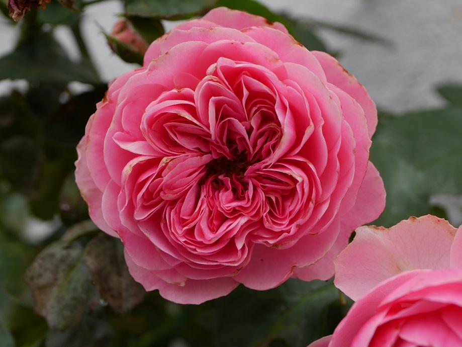 風雨を受けて花びらが痛んでいる「レオナルド・ダ・ヴィンチ」