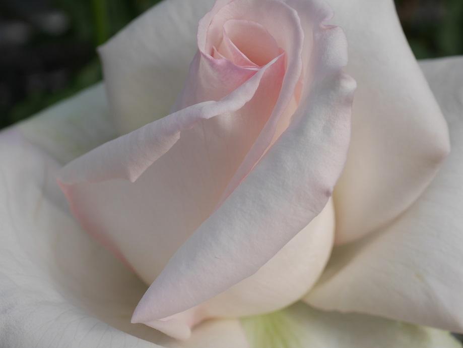 「エレーヌ・ジュグラリス」の美しい花びら。