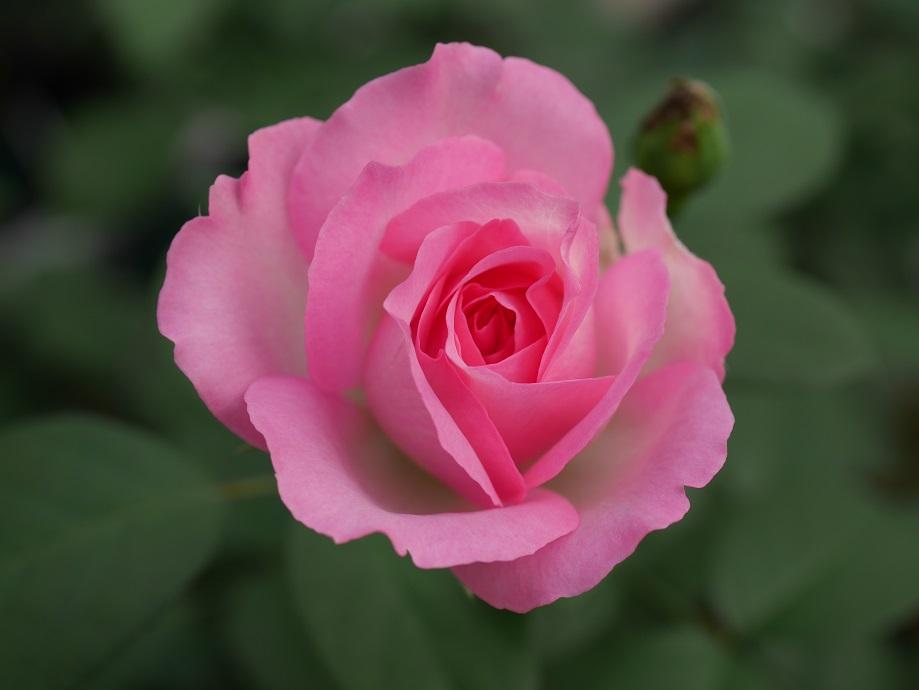 覆輪(白地に桃色)の「ストロベリー・アイス」の8分咲きの花姿。[撮影者:花田昇崇]