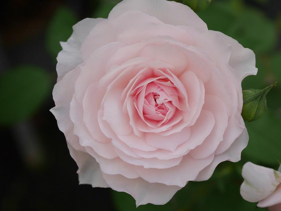 淡い桃色の「みさき」の8分咲きの花姿。[撮影者:ローズフェスタ]