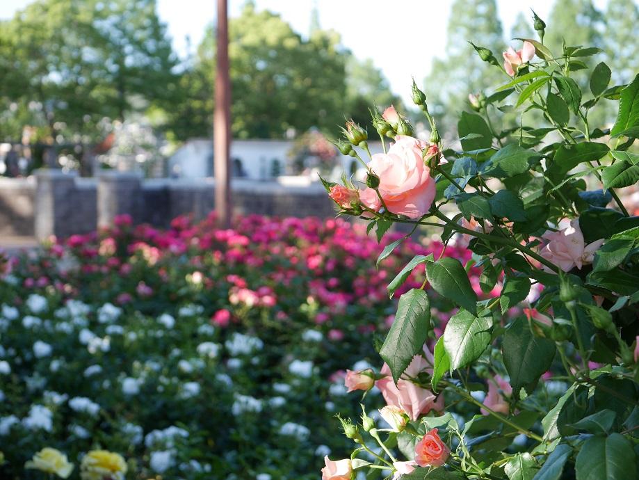 バラが咲き誇る荒牧バラ公園(兵庫県伊丹市)の園内。[撮影者:花田昇崇]