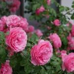 おおらかにつきあえる再生のバラ[レオナルド・ダ・ヴィンチ]の栽培実感