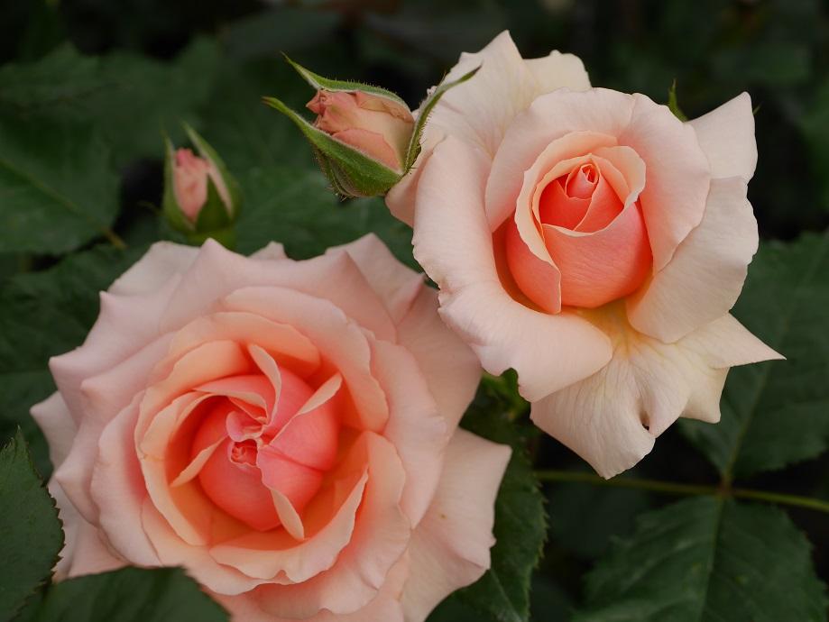 アプリコット色の「フレグラント・アプリコット」の8分咲きの花姿が2輪写っている。