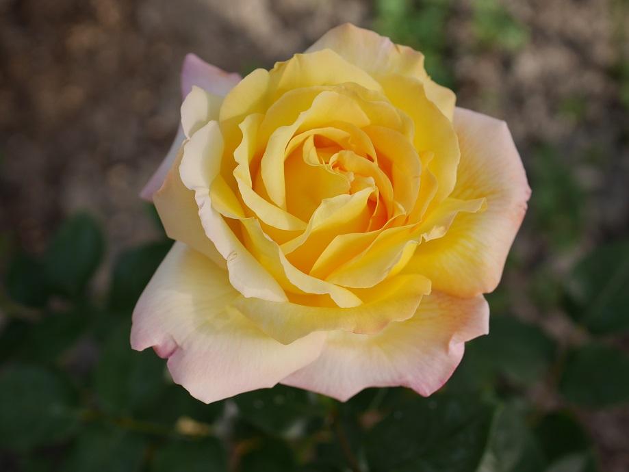 バラ「ピース」の8分咲きの超美麗な写真。ローズフェスタ所有のビニールハウス内で花田昇崇が撮影した。