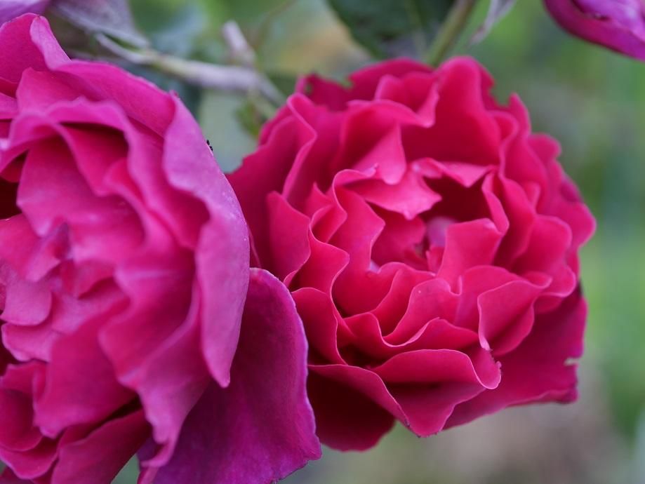 バラ「オデュッセイア」の開花写真。赤紫色の色味がよくわかる。美しい写真。