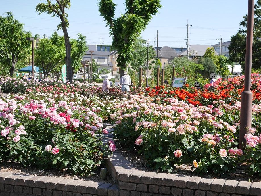 荒牧バラ公園)の園内。バラの最盛期。
