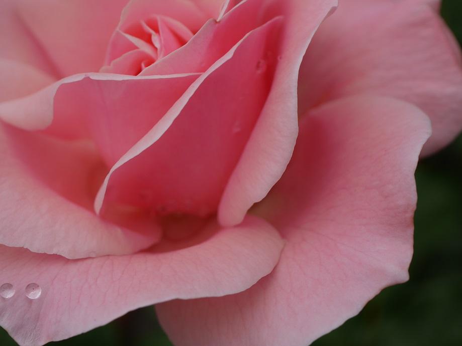 「クィーン・エリザベス」の花びら。