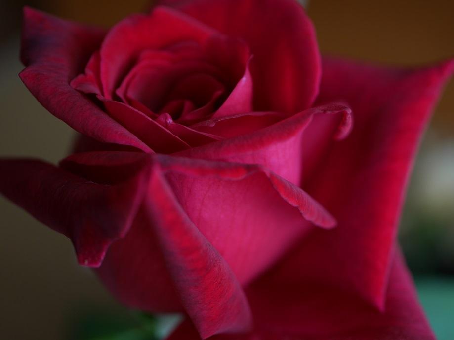黒味を帯びた繊維までよくわかる「パパ・メイアン」の花姿。