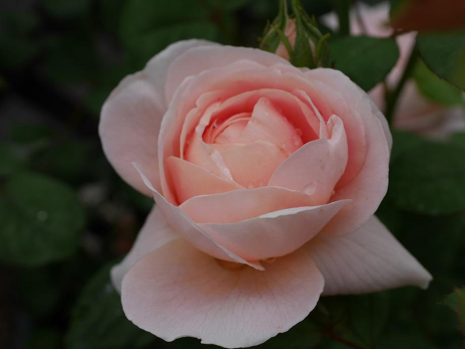 クィーン・オブ・スウェーデンの6分咲き。