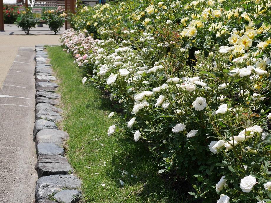 福山ばら公園内で撮影したミニアチュアのバラ「アルバメイアンディナ」が咲き誇る写真。