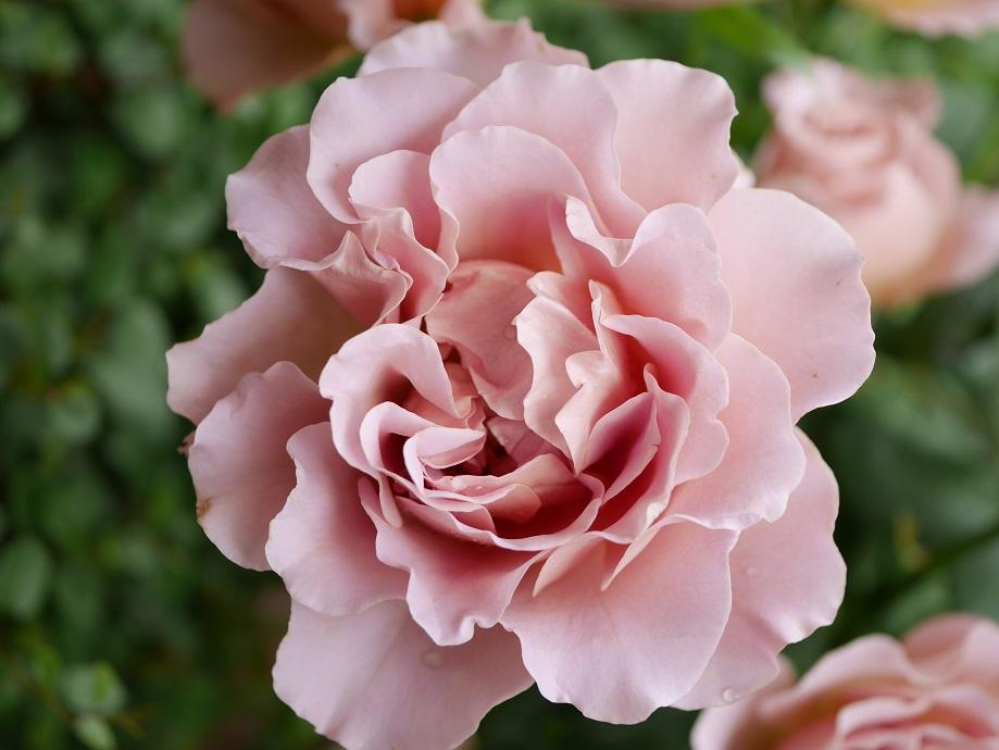 「カフェ・ラテ」の6分咲きの花姿。