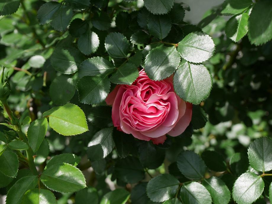 葉に隠れて上が見えない「レオナルド・ダ・ヴィンチ」
