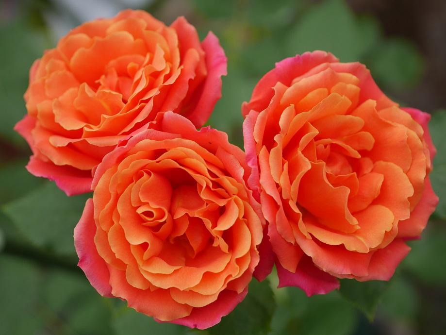 オレンジ色のバラ「ディズニーランド・ローズ」の6分咲きの花姿。3輪写っている。