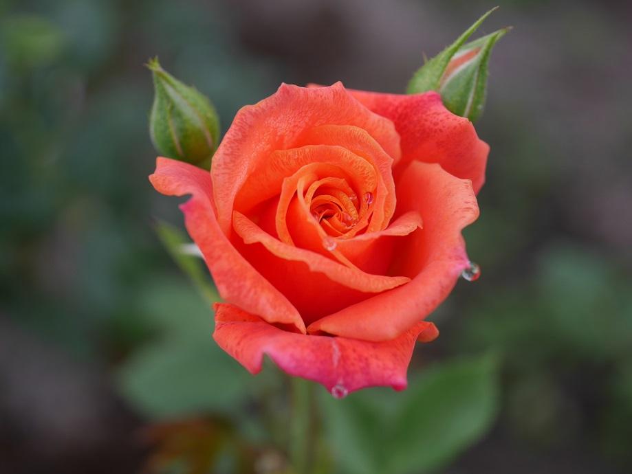 「ディズニーランド・ローズ」の開きはじめの花姿。