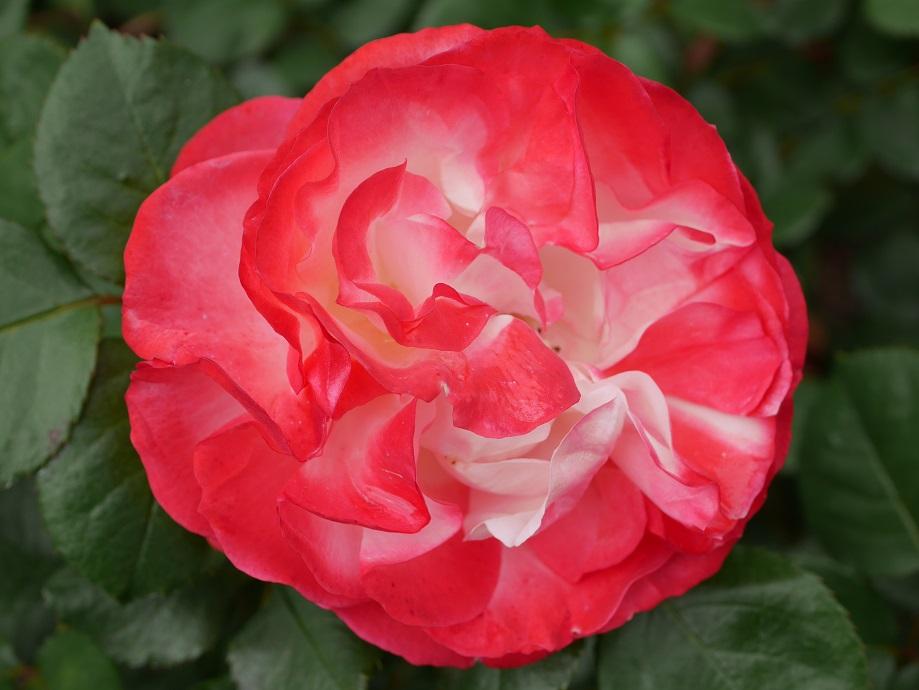 「ノスタルジー」の散り際の花色。