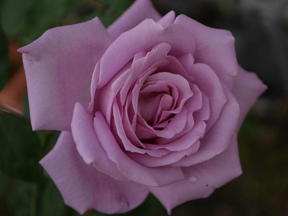 ブルー・ムーン」の8分咲き