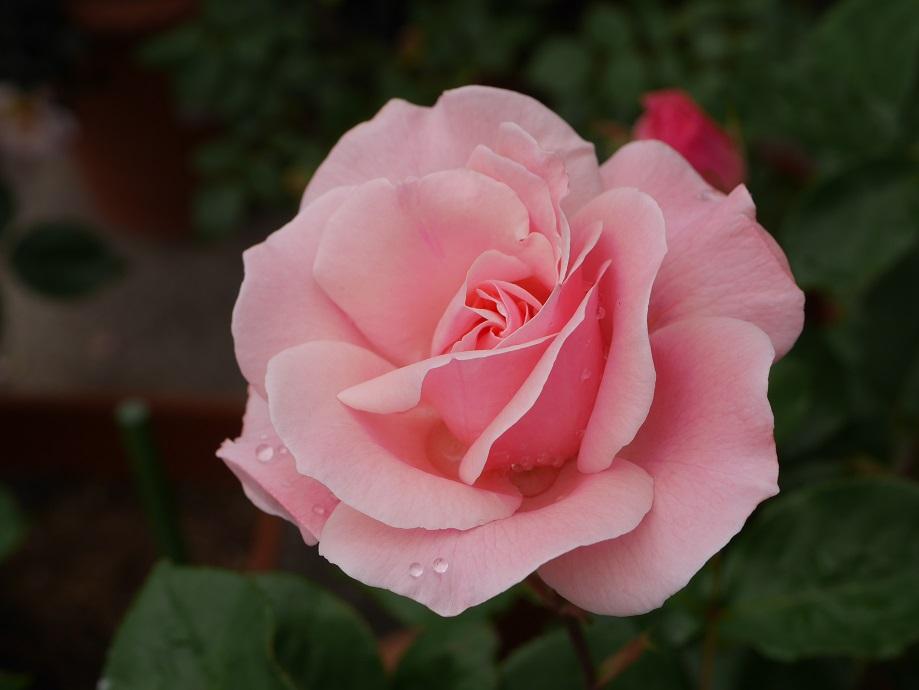 「クィーン・エリザベス」の8分咲き。