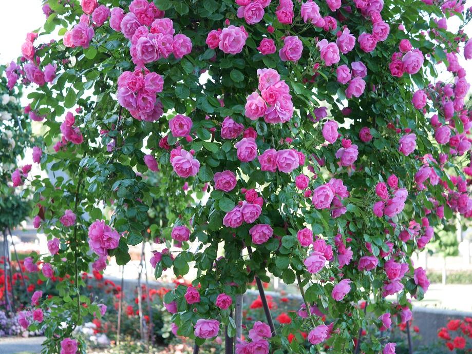 「アンジェラ」が満開に咲いた花姿。[撮影者:ローズフェスタ]